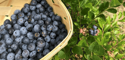 Mary's Creek Farm Blueberries in the basket and on the vine